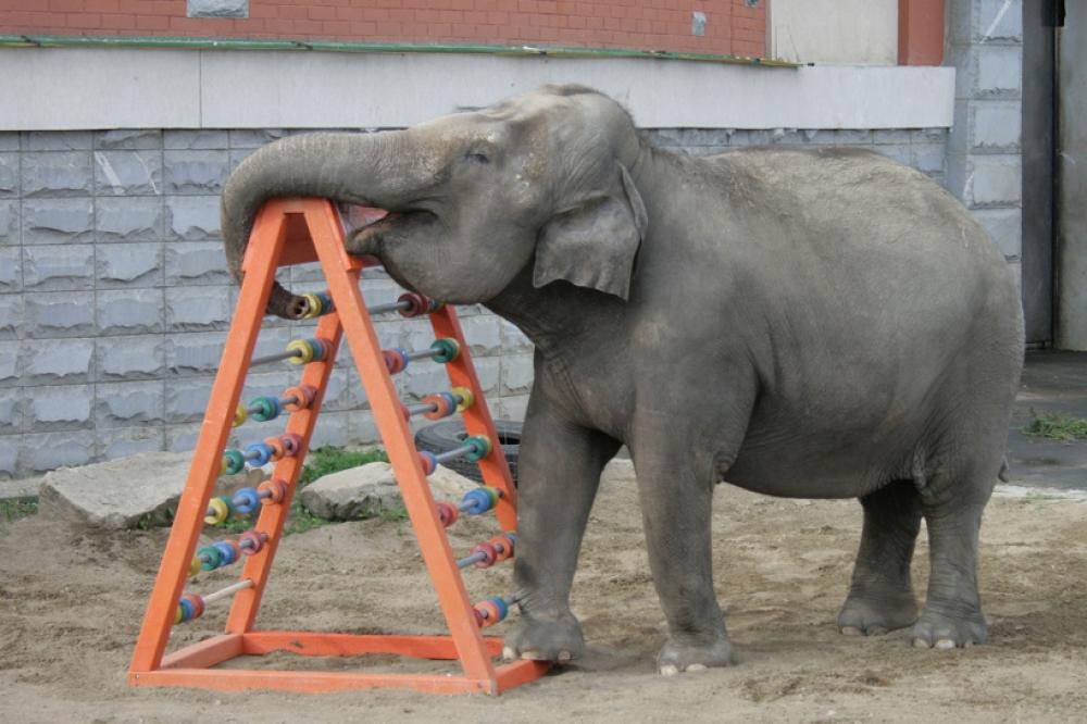 Все обитатели зоопарка, вне зависимости от веса, возраста и «социального статуса», не прочь поразвлечься с игрушками.