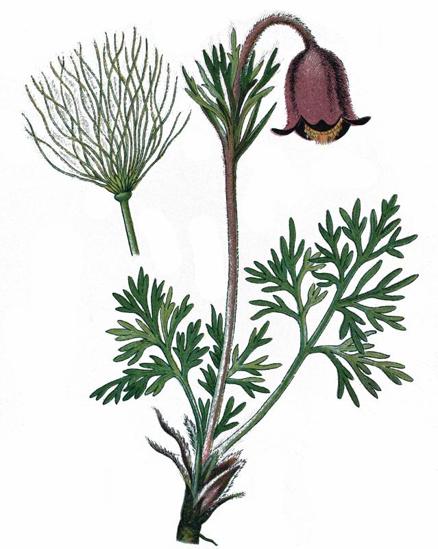 Прострел луговой (Pulsatilla pratensis).