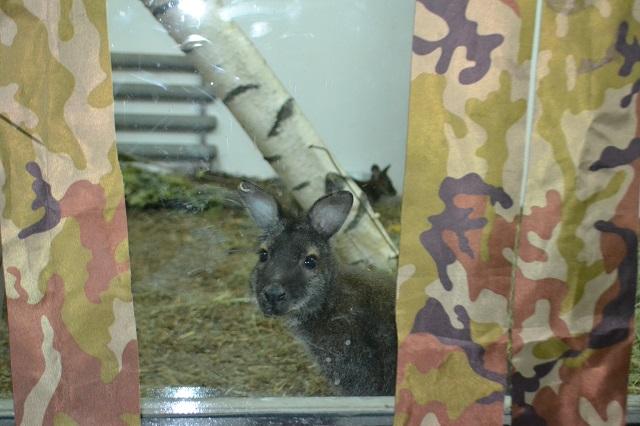 Пока кенгурят посетителям зоопарка показывают только так - из-за жалюзи.