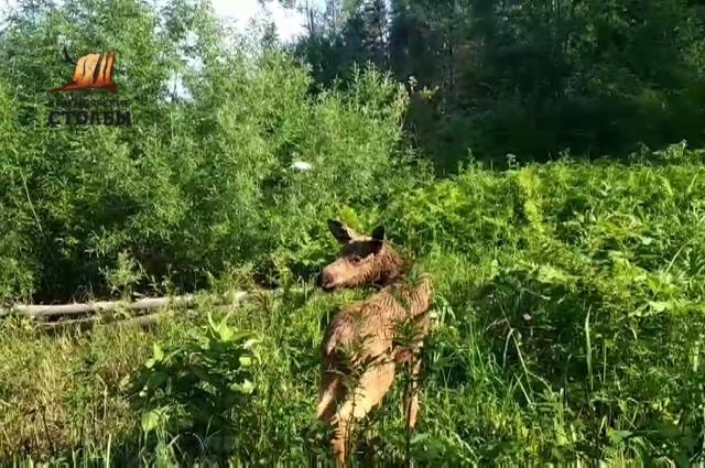 После спасения лосёнок нашёл свою маму.