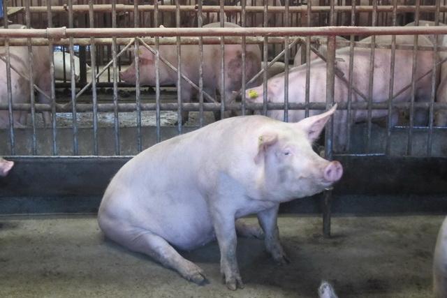 В сентябре прошлого года на Камчатку завезли 535 племенных свиней.