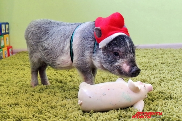 Мини-пиги тоже любят игрушки.