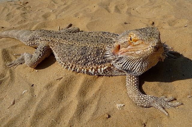 Бородатая агама получила название из-за характерного шейного мешка.