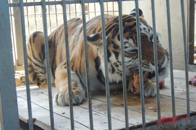 Чтобы тигр поел мяса, сначала его кладут в специальное отверстие, а потом впускают в отсек животное