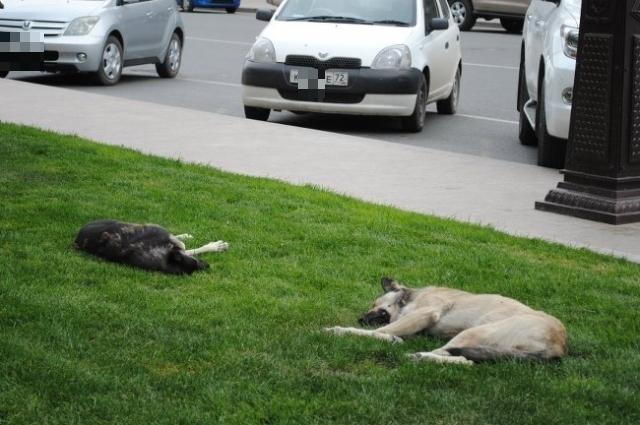 В Тюмени гуляют сотни бездомных животных.