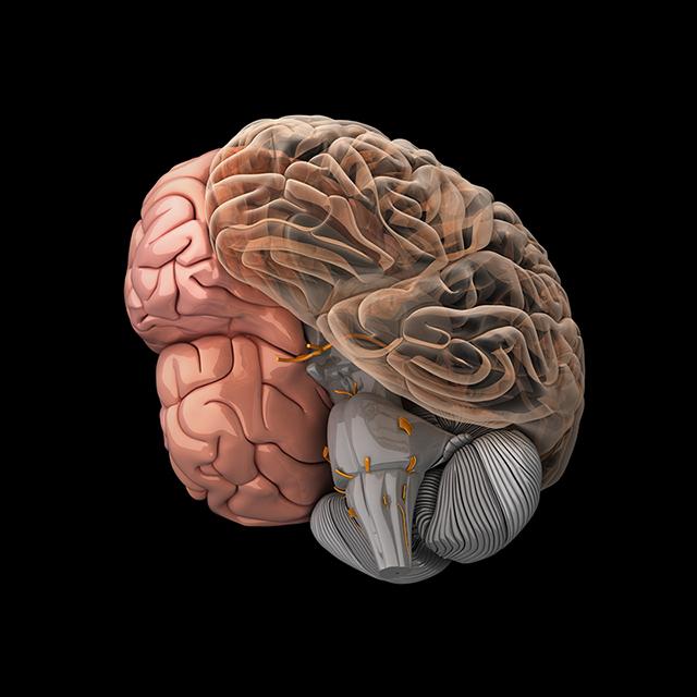 Модель головного мозга человека