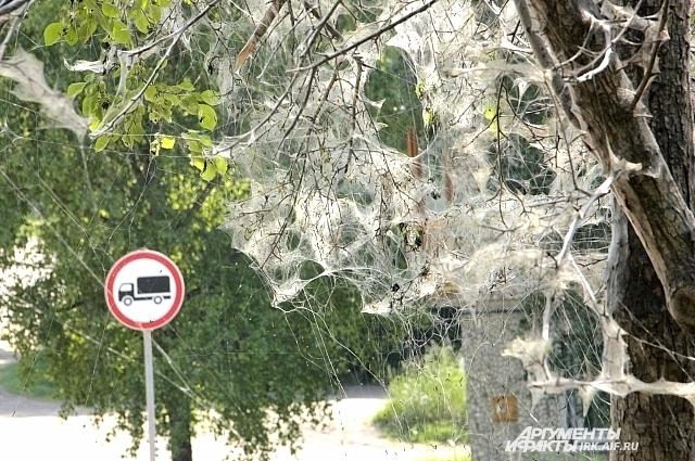 Гусеницы моли окутывают паутиной плодовые деревья, создавая особые условия для окукливания.