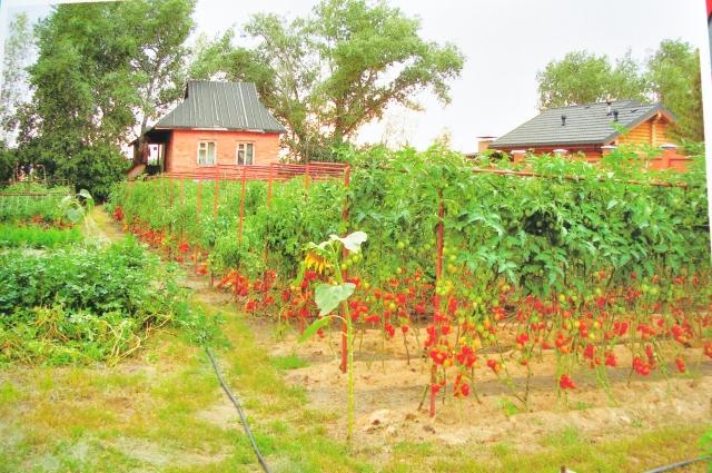 Технологиями выращивания томатов Владимир охотно делится в Интернете и порой получает по 500 сообщений в сутки.
