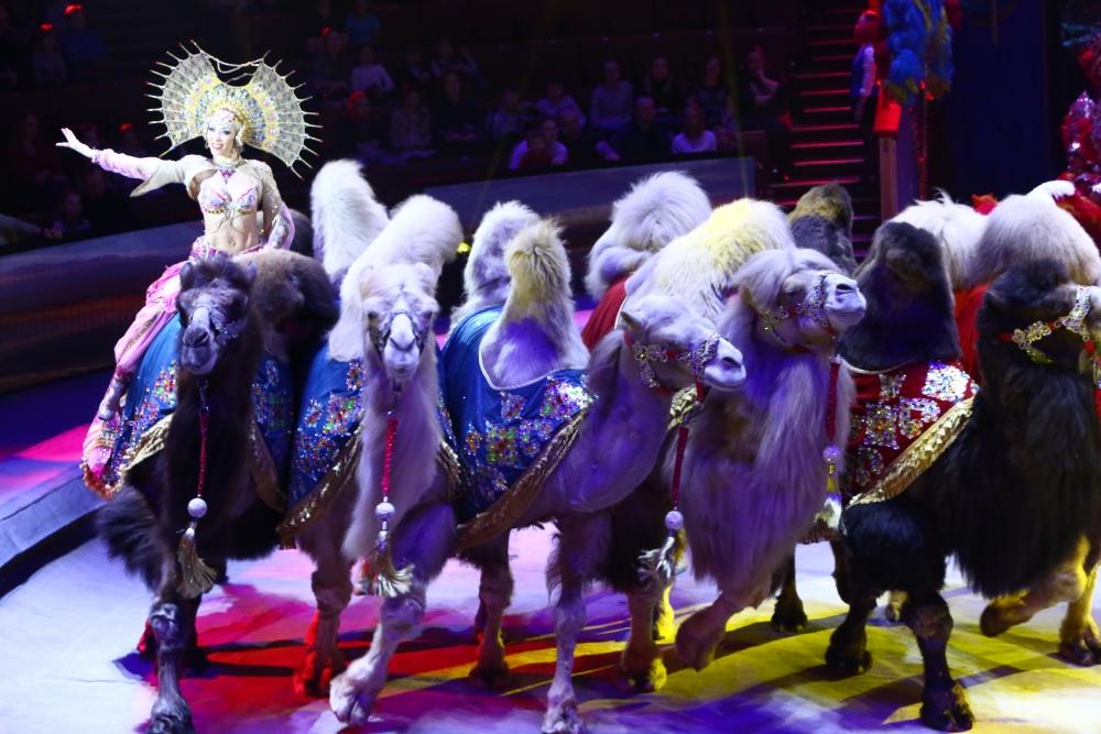 Верблюда танцуют синхронные танцы.