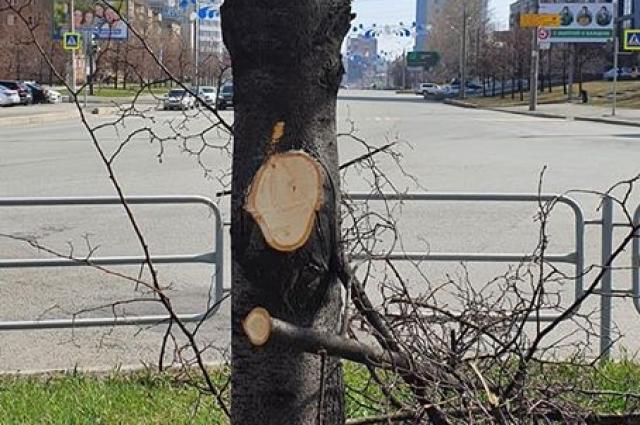 На улице Энгельса у лип срезали здоровые ветви.