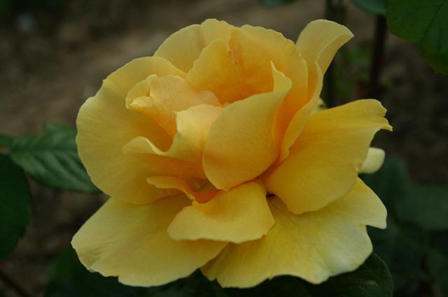 Сорт Diva устойчив, а его цветки эффектны