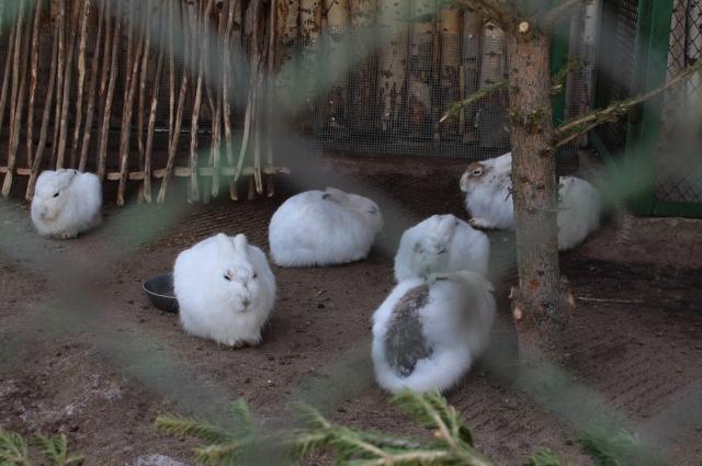 Зайцы меняют шубку.