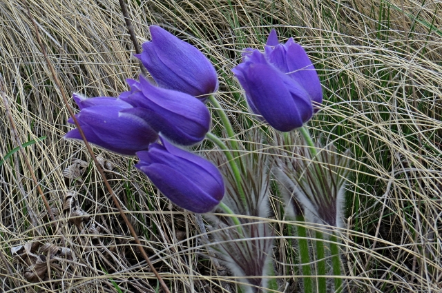 Заповедная степь бережно хранит сон-траву.
