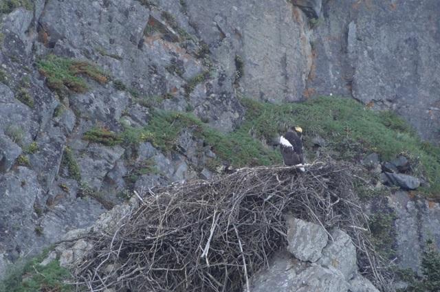 Гнездо белоплечего орлана
