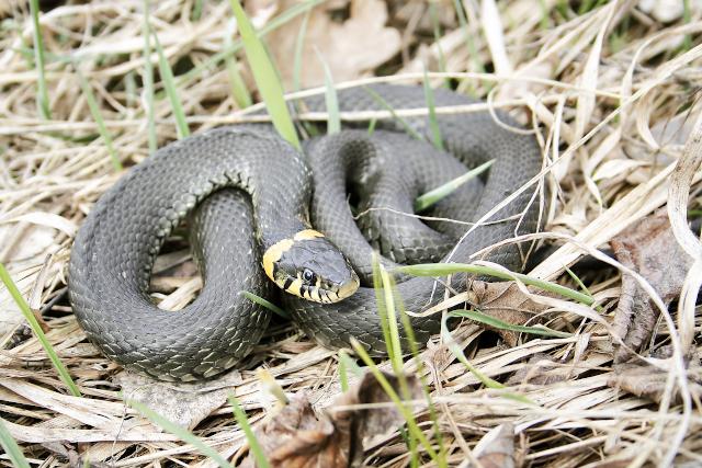 Обыкновенный уж — самая распространенная змея в Воронежской области