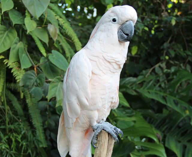 Белый попугай– любимец публики.
