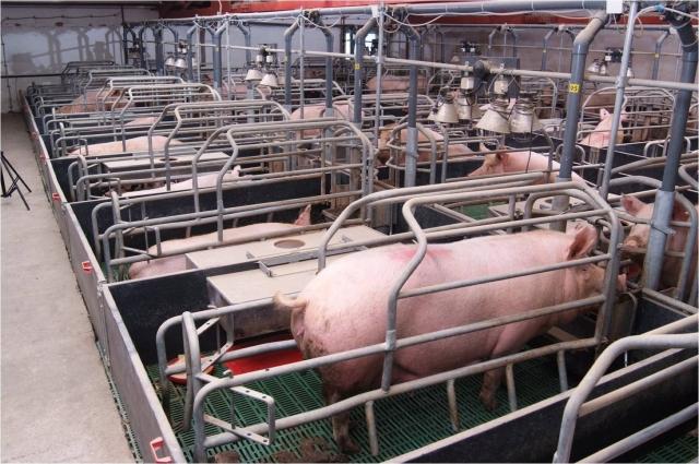 Чистогорские свиньи - это пока наилучший в России результат для материнских пород.
