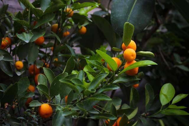 Урожай мандаринов собирали кНовому году.