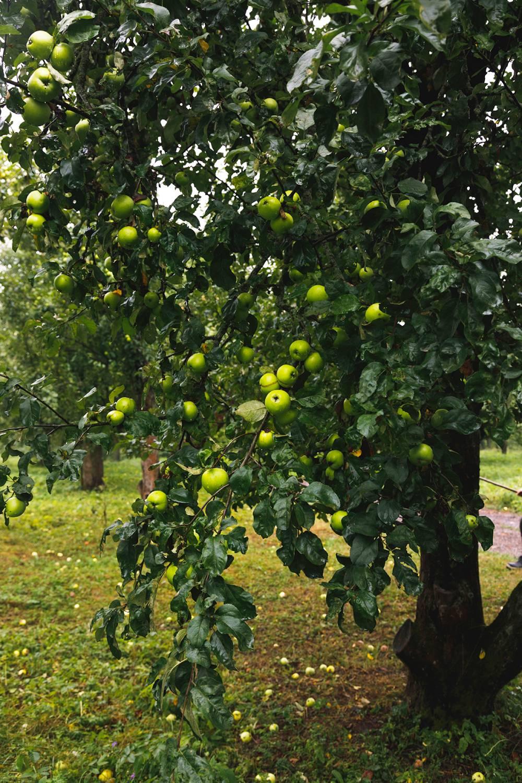 Самую вкусную пастилу готовят из яснополянских яблок.