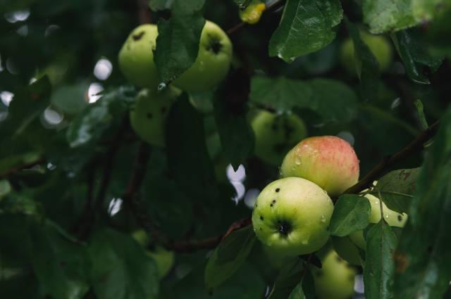 Яснополянские яблоки.