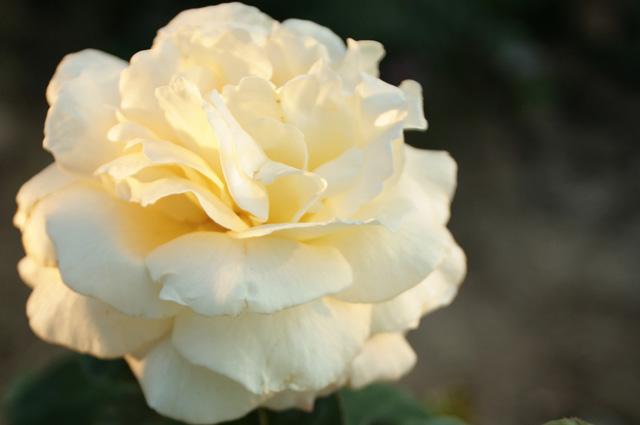 Роза La Perla отмечена сертификатом ADR