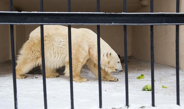 Белая медведица Малышка
