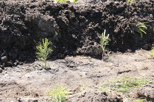 Лесовосстановление – это одна из важнейших задач.