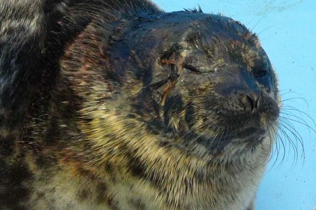 В таком виде нерпа попала в Центр реабилитации в Репино.