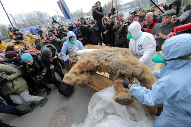 Выгрузка якутского мамонтенка Юки возле здания Центрального Дома Художника в Москве перед началом Фестиваля Русского Географического общества