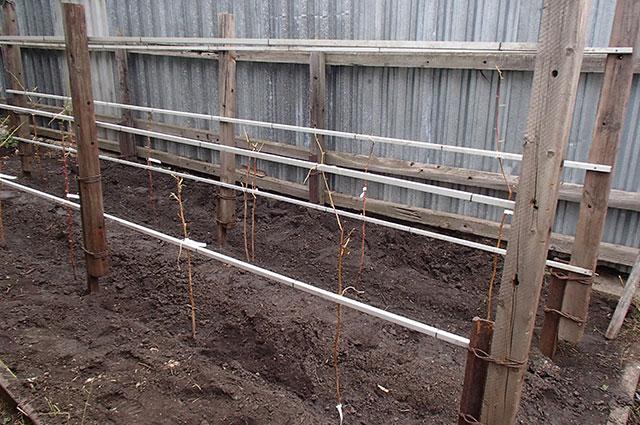 Опорная конструкция позволит формировать крону малиновых кустов и упростит сбор урожая.