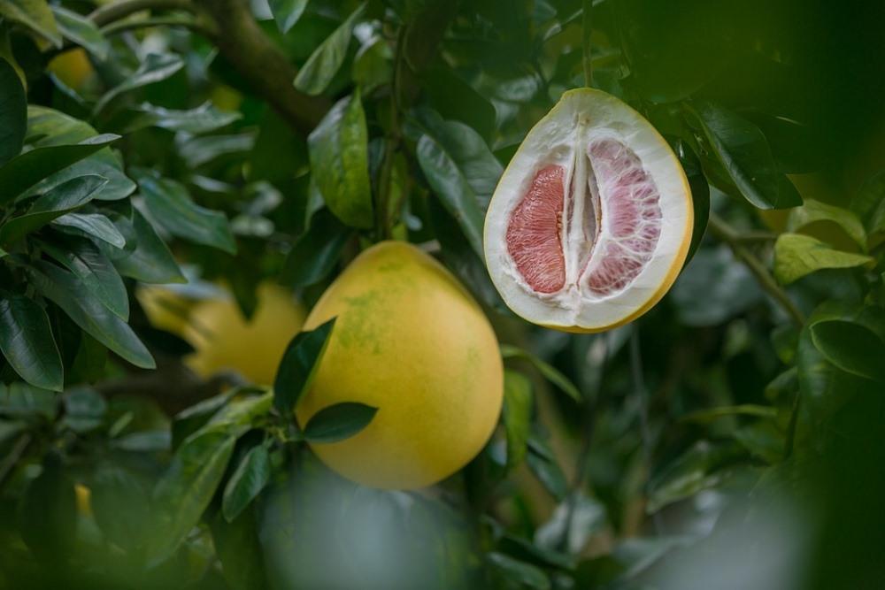 Плоды помело жёлтого цвета и грушевидной формы принадлежат к одному из самых сладких сортов.