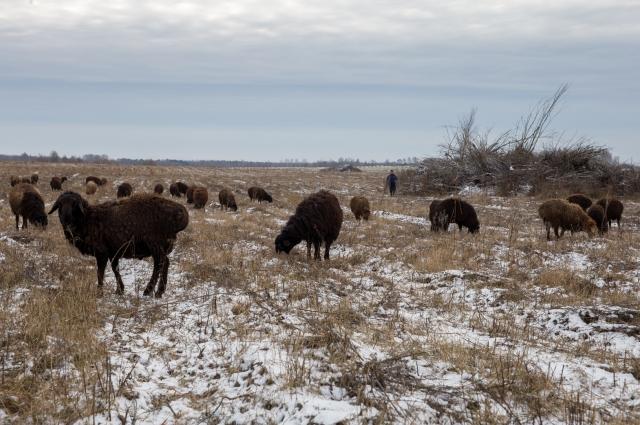 «Этим овцам не страшны ни жара, ни холод. Хорошо и быстро растут. Выносливые - до 50 километров в день могут пройти».