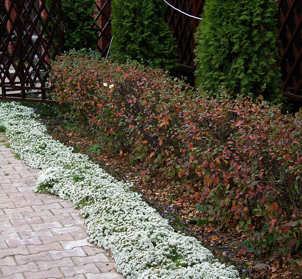 Лобулярия (алиссум)  и в октябре цветёт, как летом.