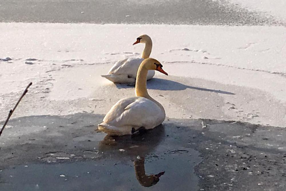 Лебеди на зимовке.