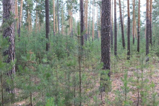 Совершенно другая картина на арендованных территориях: лес охраняется от браконьеров, пожаров и вредителей