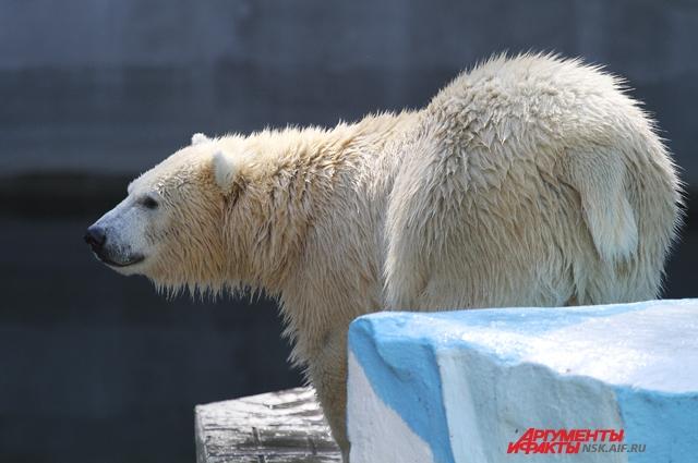 У бурых и белых медведей был один предок