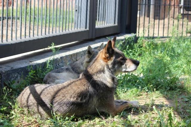 Волки избегают всяких встреч с человеком.