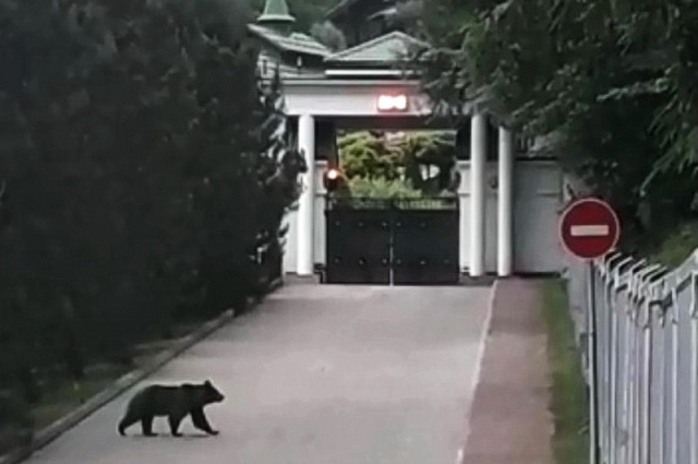 Медведь на объекте «Газпрома» в Сочи.