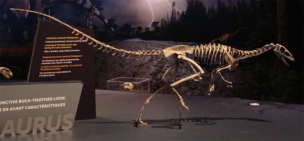 Masiakasaurus knopfleri. Реконструированный скелет, Королевский музей Онтарио, Торонто, Канада.