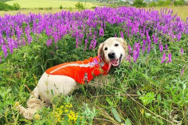 собака волонтерского поисково-спасательного отряда «Вектор» Бласко.