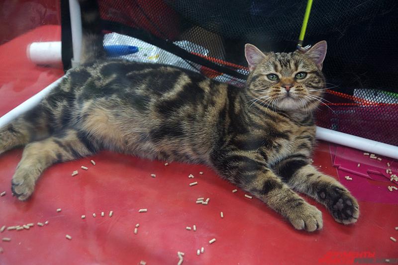 Американская короткошерстная кошка.