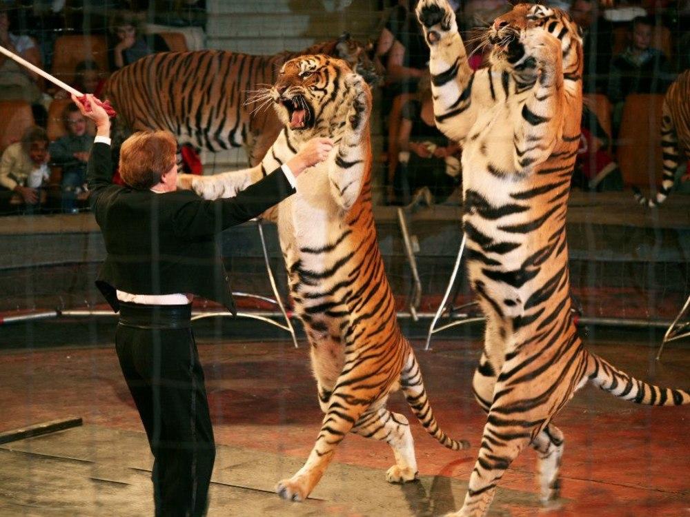 Тигры выйдут на арену под управлением Народного артиста России Николая Павленко.
