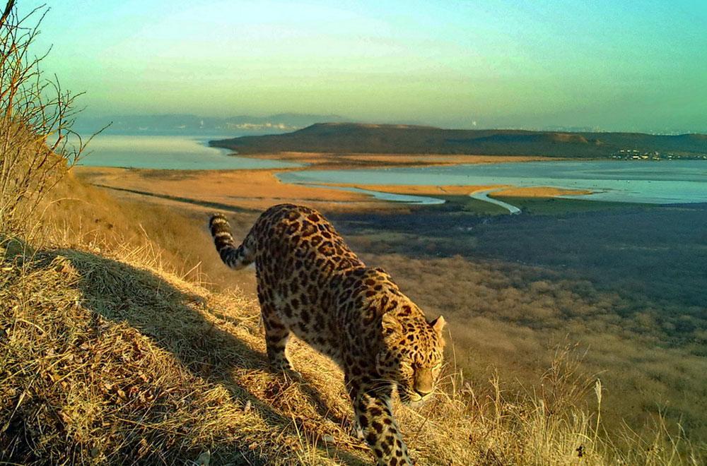 Леопарды бродят по сопкам.