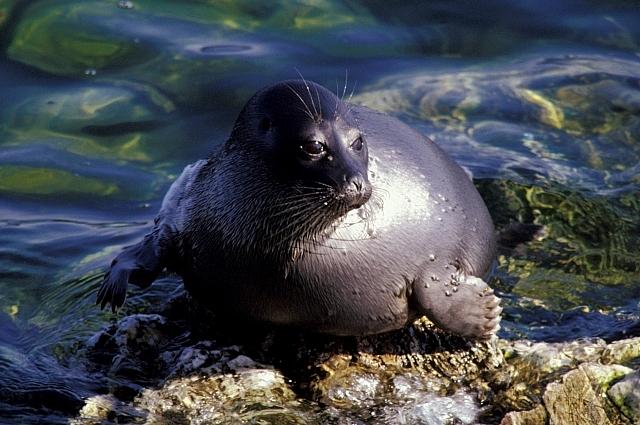 Байкальский тюлень - нерпа.