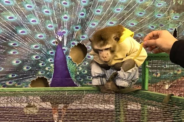 У обезьяны нет пальца и разбита бровь