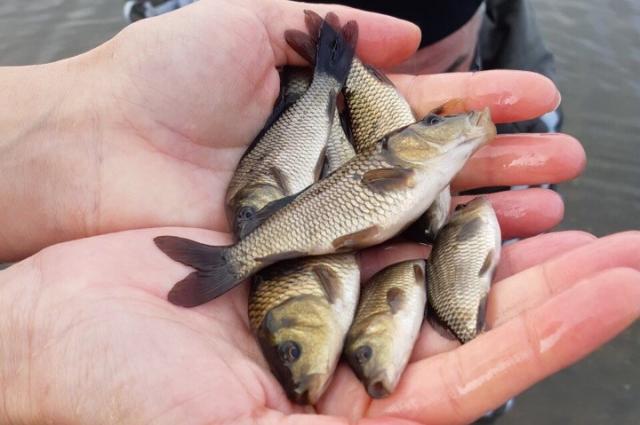 В реку Большой Кинель журналисты выпустили 2 тысячи мальков сазана.