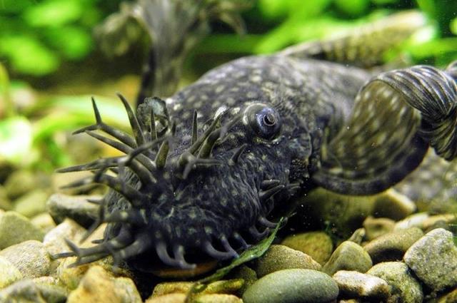 Так на самом деле выглядит аквариумная рыбка - сом анциструс обыкновенный.
