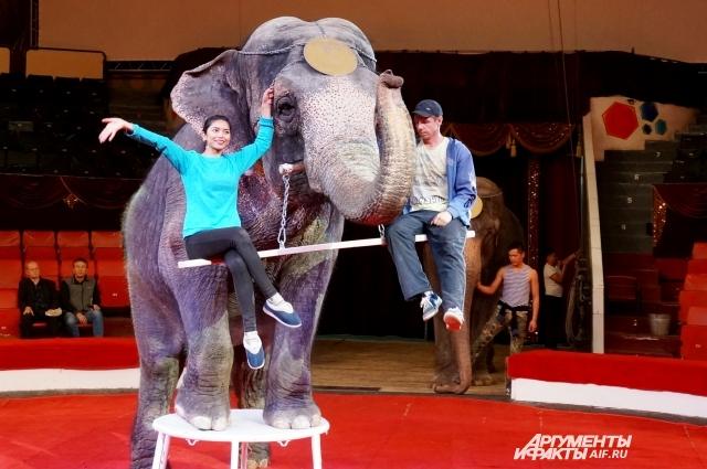 Индийские слонихи приехали в Пермь вместе с дрессировщиком Сергеем Гулевичем, чтобы показать зрителям Цирка по-настоящему большое искусство.