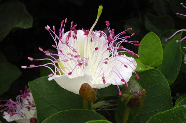 Цветок и нераскрывшиеся бутоны каперсника колючего