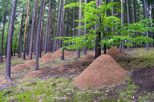 Вот таких размеров могут достигать муравейники в наших лесах. Причем муравьи могут перебирать его полностью, чтобы поддержать нужную им температуру и влажность.